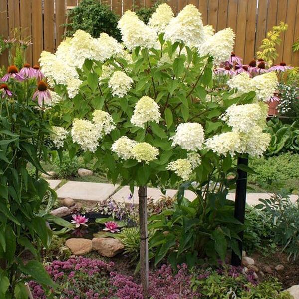 Гортензия метельчатая 'Limelight' (на штамбе), Hydrangea paniculata 'Limelight'