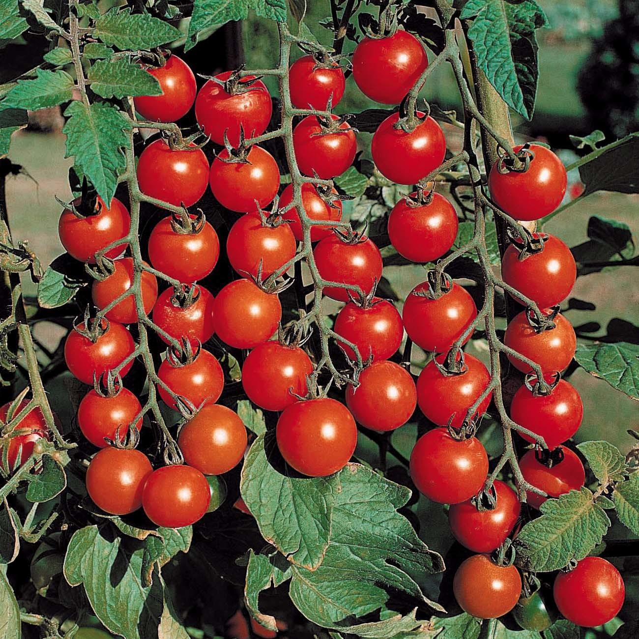 Урожай помидоров-плюс теплой грядки в том, что при разложении органических отходов, выделяется и большое количество тепла в корнях растений