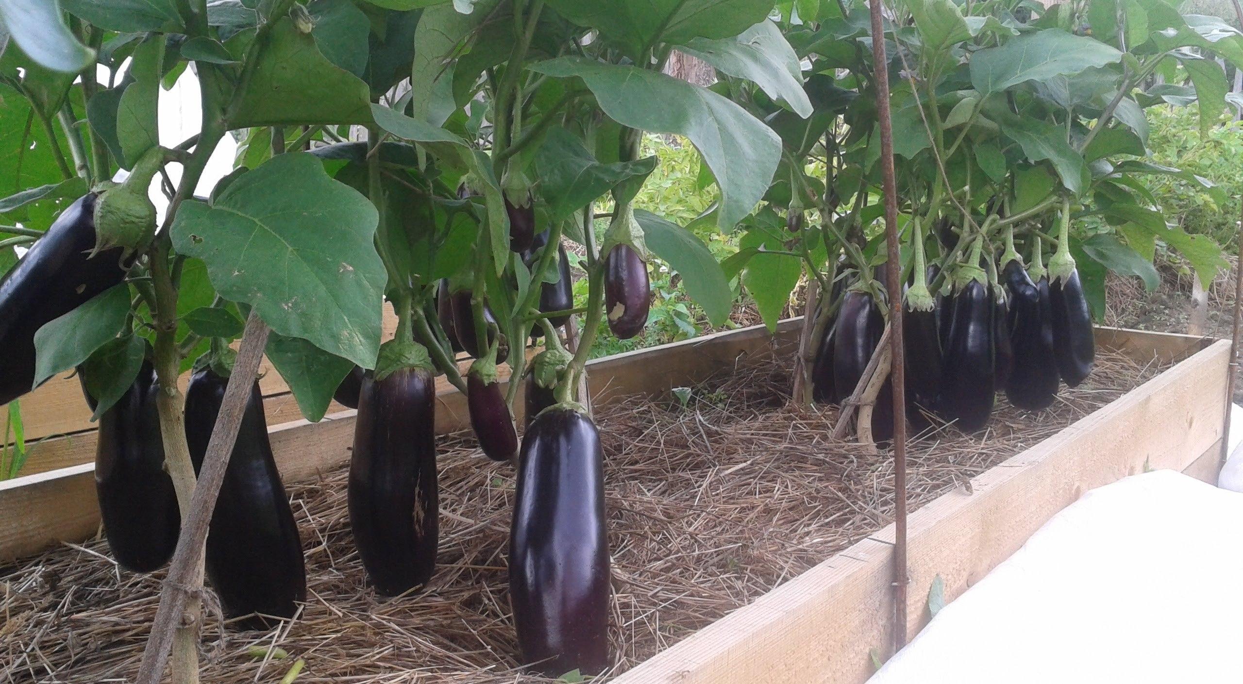 Устройство теплой грядки создает благоприятные условия для выращивания растений