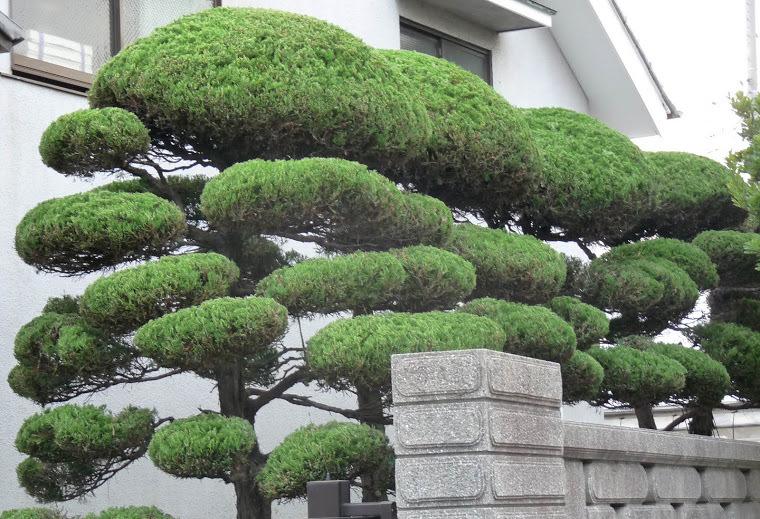 """На оставленных ветвях образуются крупные """"тарелки"""", """"облака"""", """"шары"""" или """"подушки"""""""