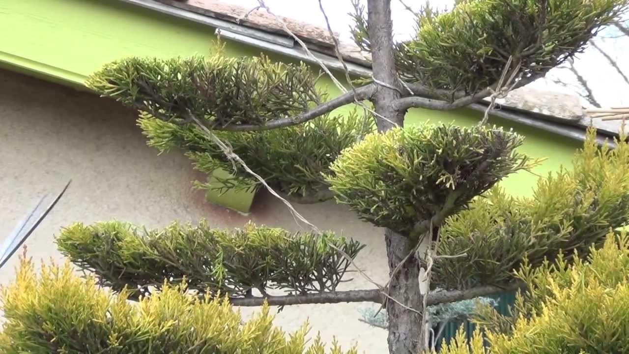 Экстравагантную форму придают искусственно, формируя форму ствола и кроны, направляя ветви