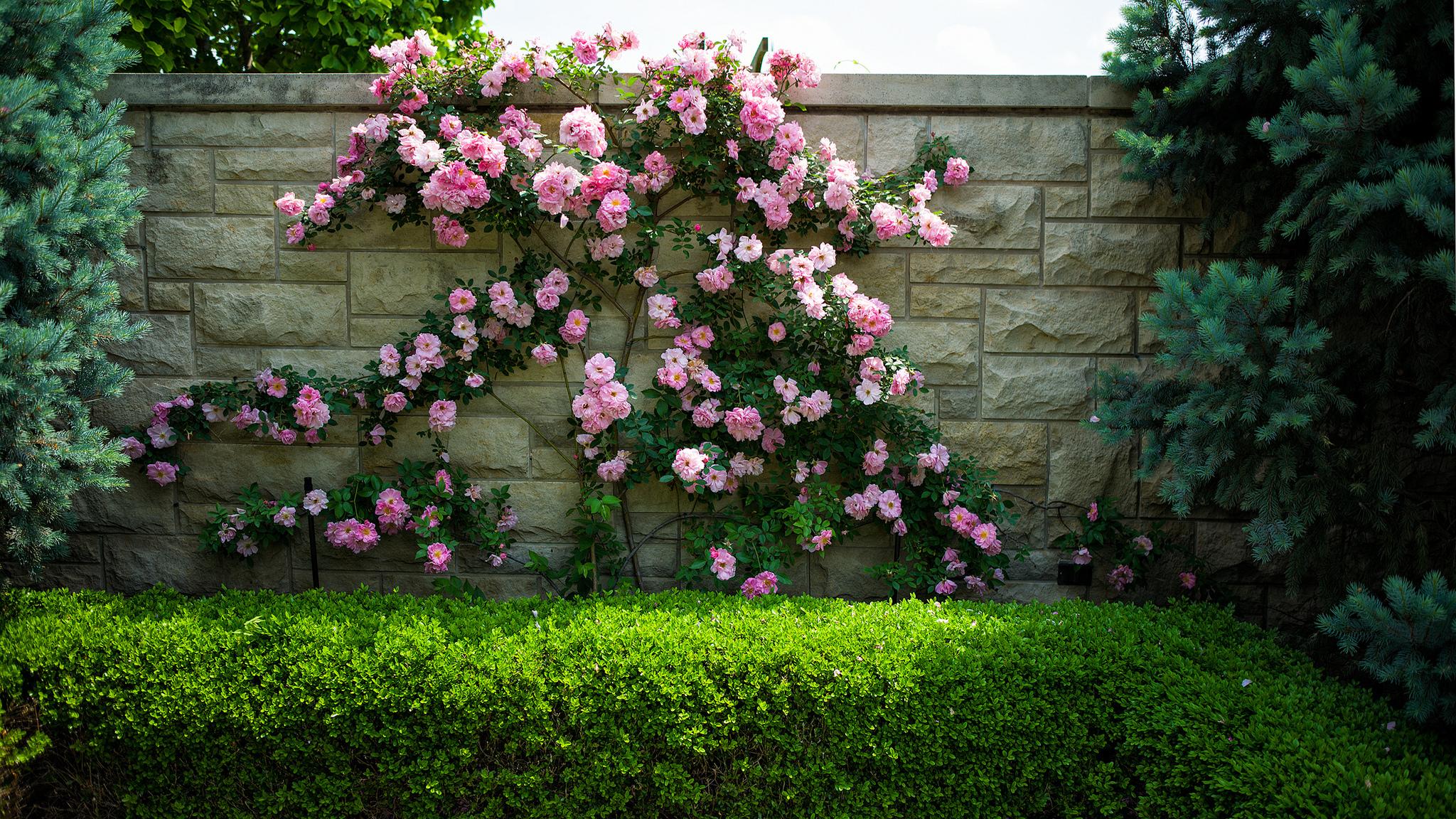 Climber отлично подойдут для декорирования стен, забора и непрезентабельных садовых построек