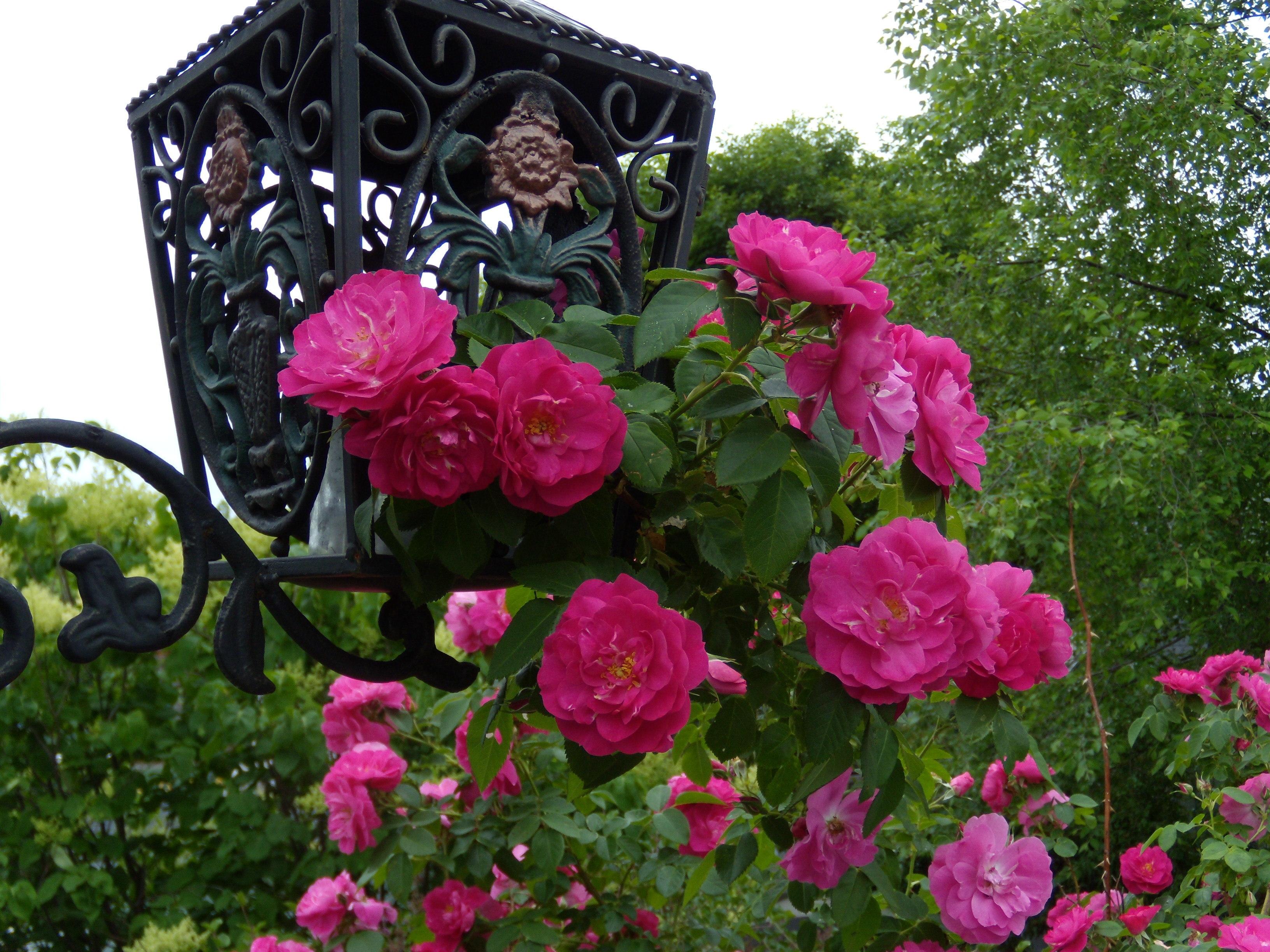 Плетистая роза и кованые объекты-изысканно!