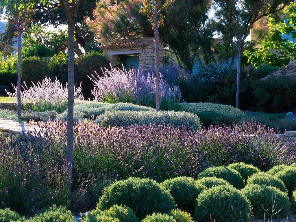 Лаванда в таком саду повсюду: в контейнерах и цветниках, вдоль дорожек и вместо газона