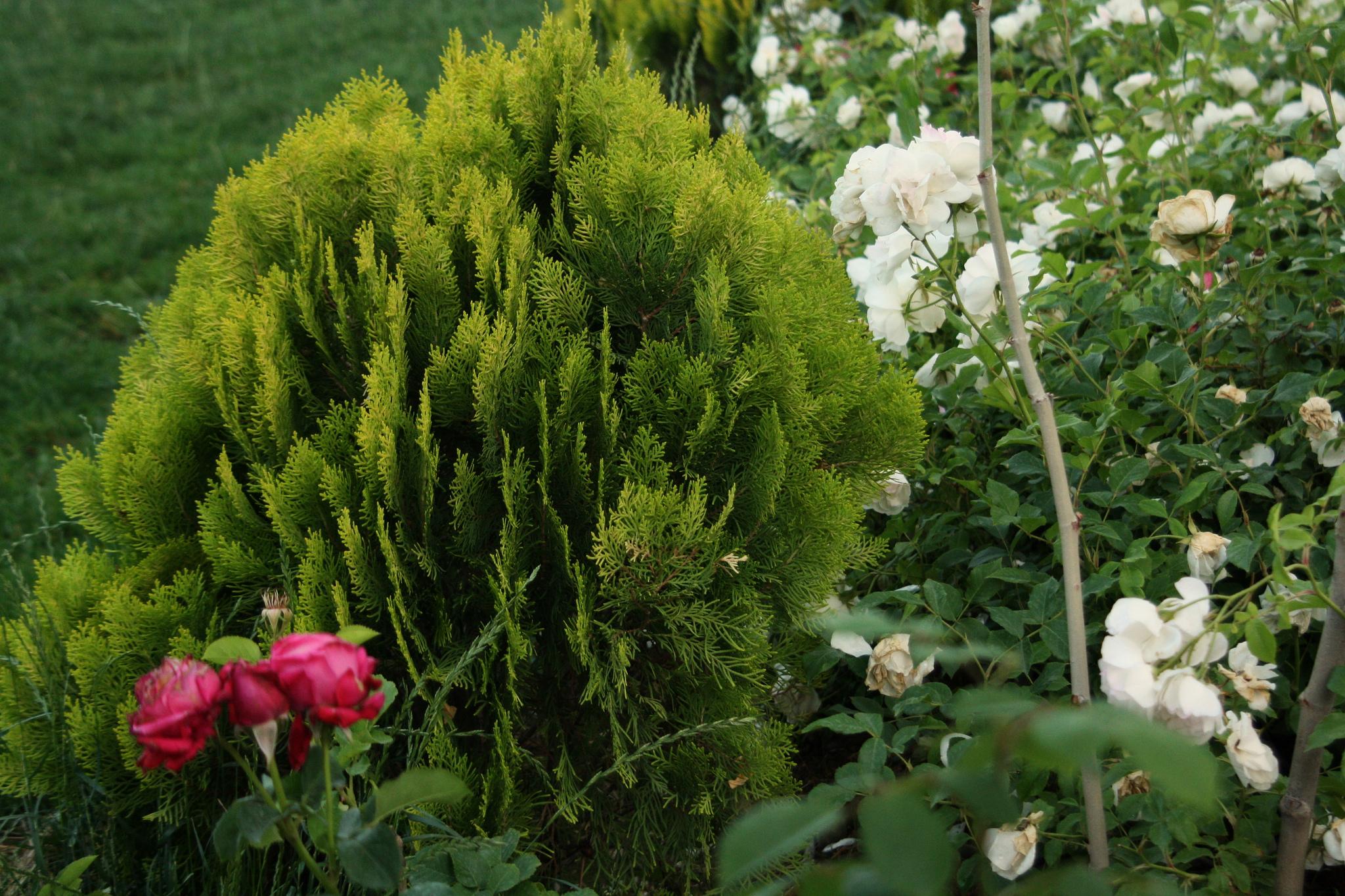 Хвойные растения — одни из самых популярных растений в ландшафтном озеленении.