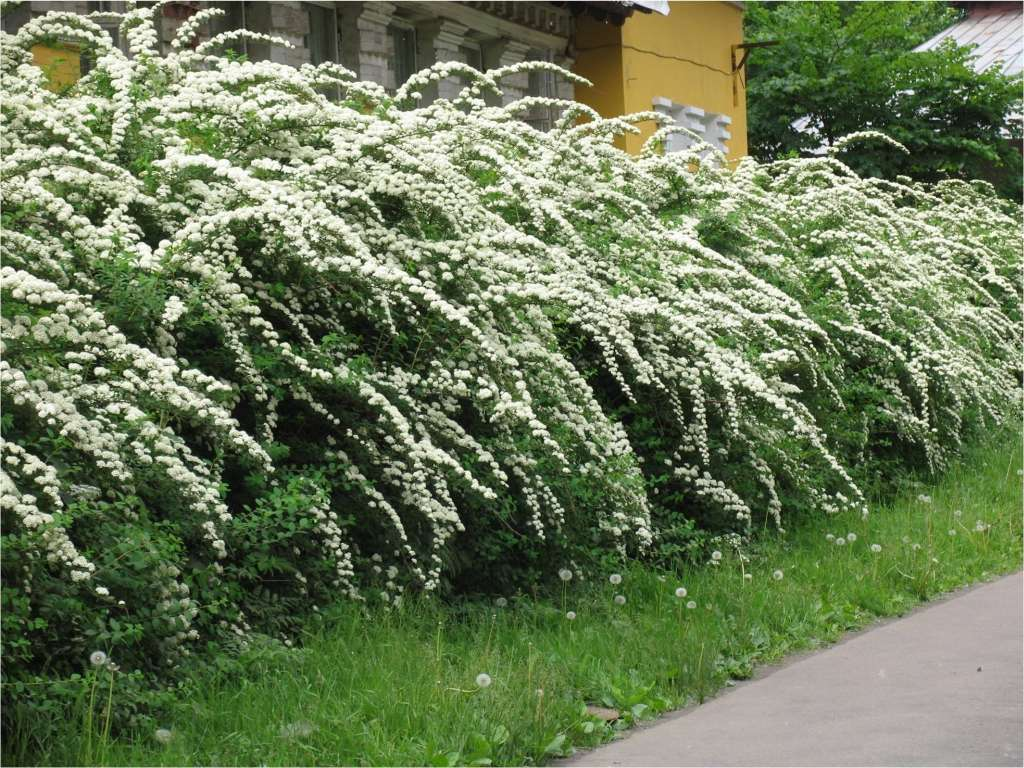 Свободно растущая изгородь имеет природный вид и занимает больше места, поэтому ее возможно использовать на более просторных участках.