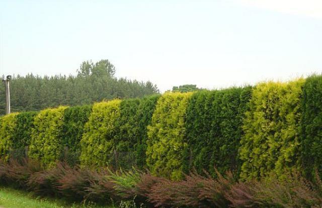 Состоит из сильных деревьев с густыми ветвями, создающими тень и надежную защиту участка.