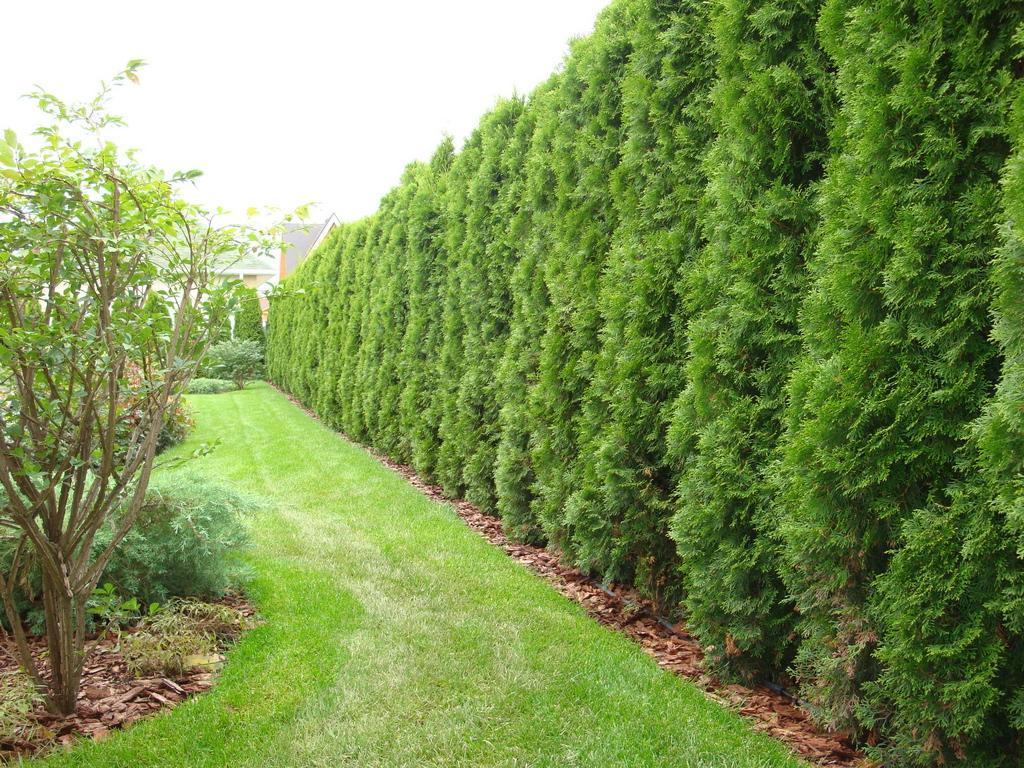 Для высоких живых стен декоративных весь год подберите хвойные растения: ель обыкновенную, можжевельники обыкновенный и вергинский, кипарис, тую западную.