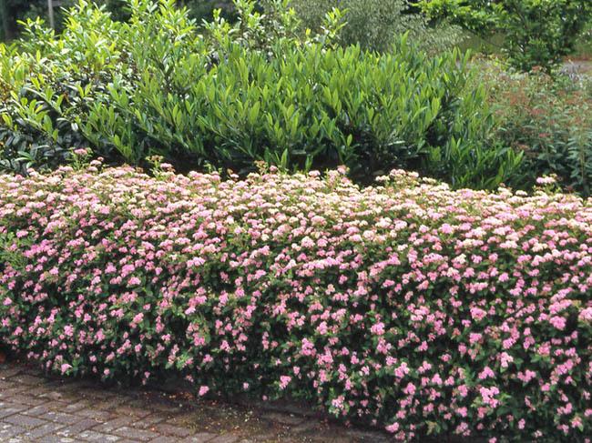 Эффектно декорируют границы цветников, дорожек, игровых площадок.