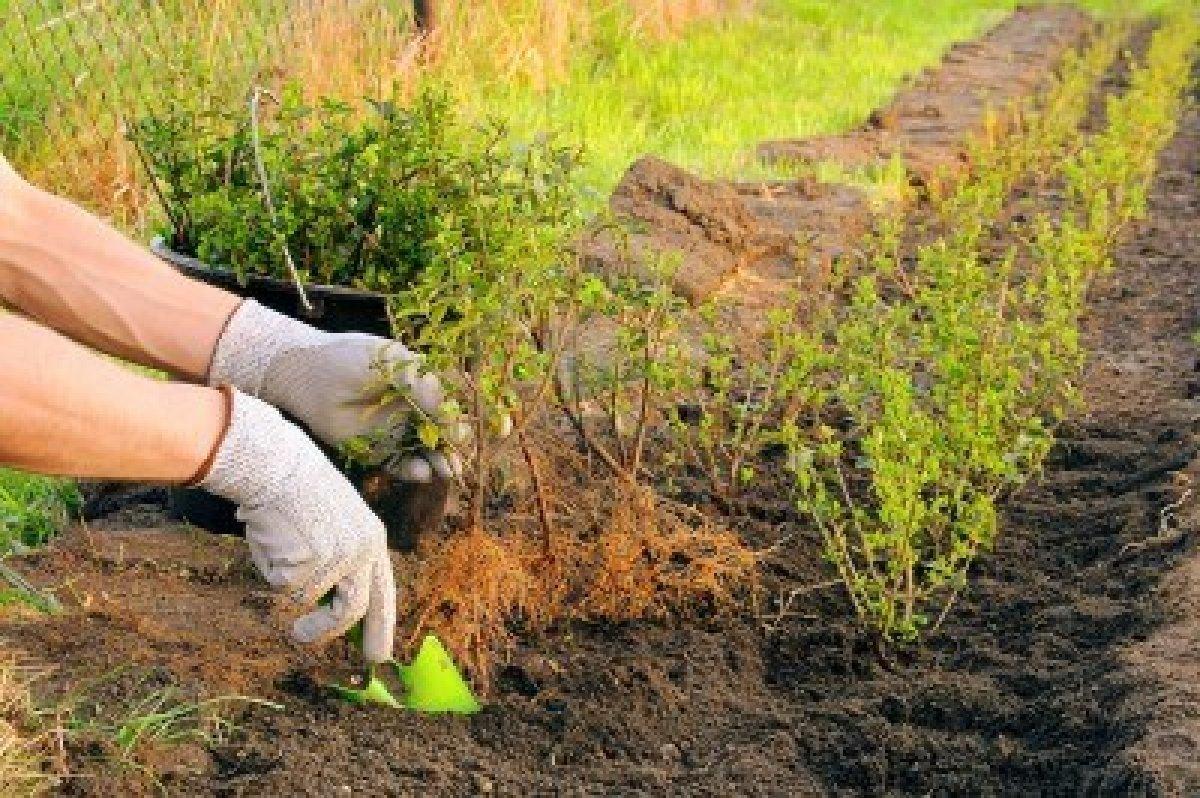 Для живой изгороди приобретайте молодые растения.