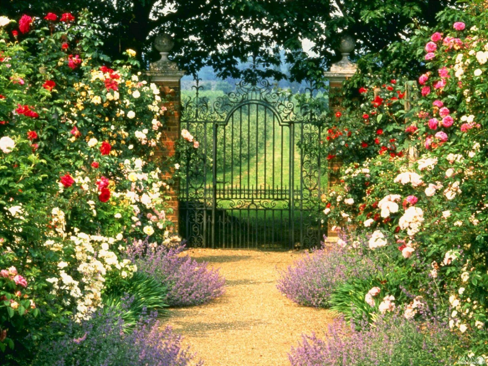 При создании живой изгороди можно высадить розы бордюрные и полиантовые.