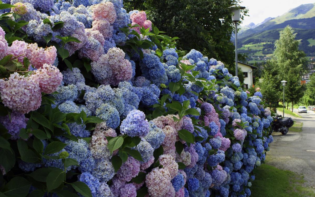 Создавая цветущий изгородь, можно высадить розы бордюрные и полиантовые, гортензии древовидные.