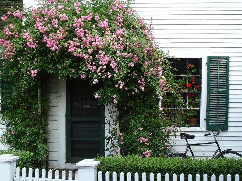 Лидером в вертикальном озеленении считается ,конечно же,плетистая роза. Ее длинные изящные ветви, усыпанные роскошными цветками, прекрасно справятся с декорацией стен.