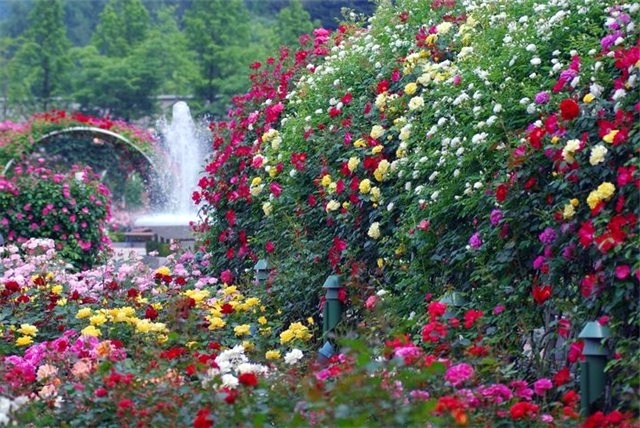 Для создания композиции непрерывного цветения, необходимо подбирать плетистые розы с разными сроками и продолжительностью цветения, гармонирующие по окраске.