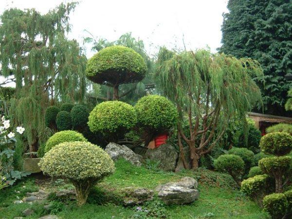 Ниваки - садовый бонсай