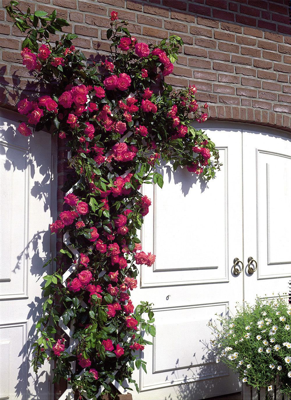 Если вы расположили плетистую розу в центре цветника , подойдет опора красивой изящной формы, которая сама будет служить декором ,в то время, когда роза будет находиться под укрытием зимой.