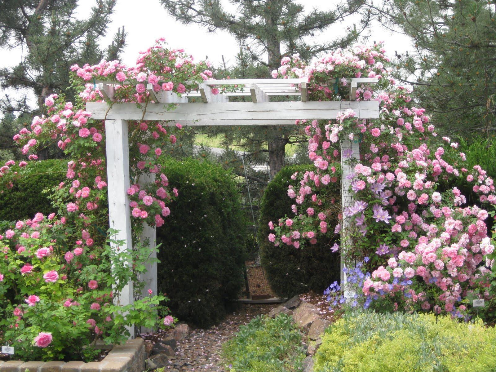 Переплетаясь, со временем вьющиеся розы разных сортов образуют единый пышный куст с цветами разного цвета и размера.