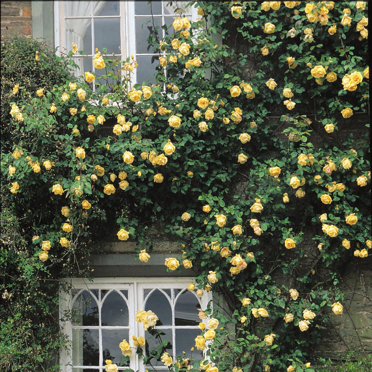 Лидером в вертикальном озеленении считается плетистая роза.