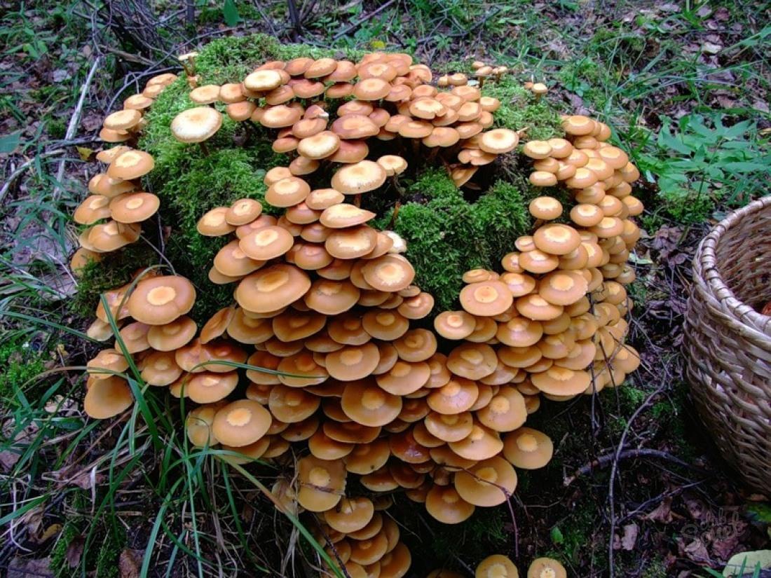 Выращивание грибов на старом пне