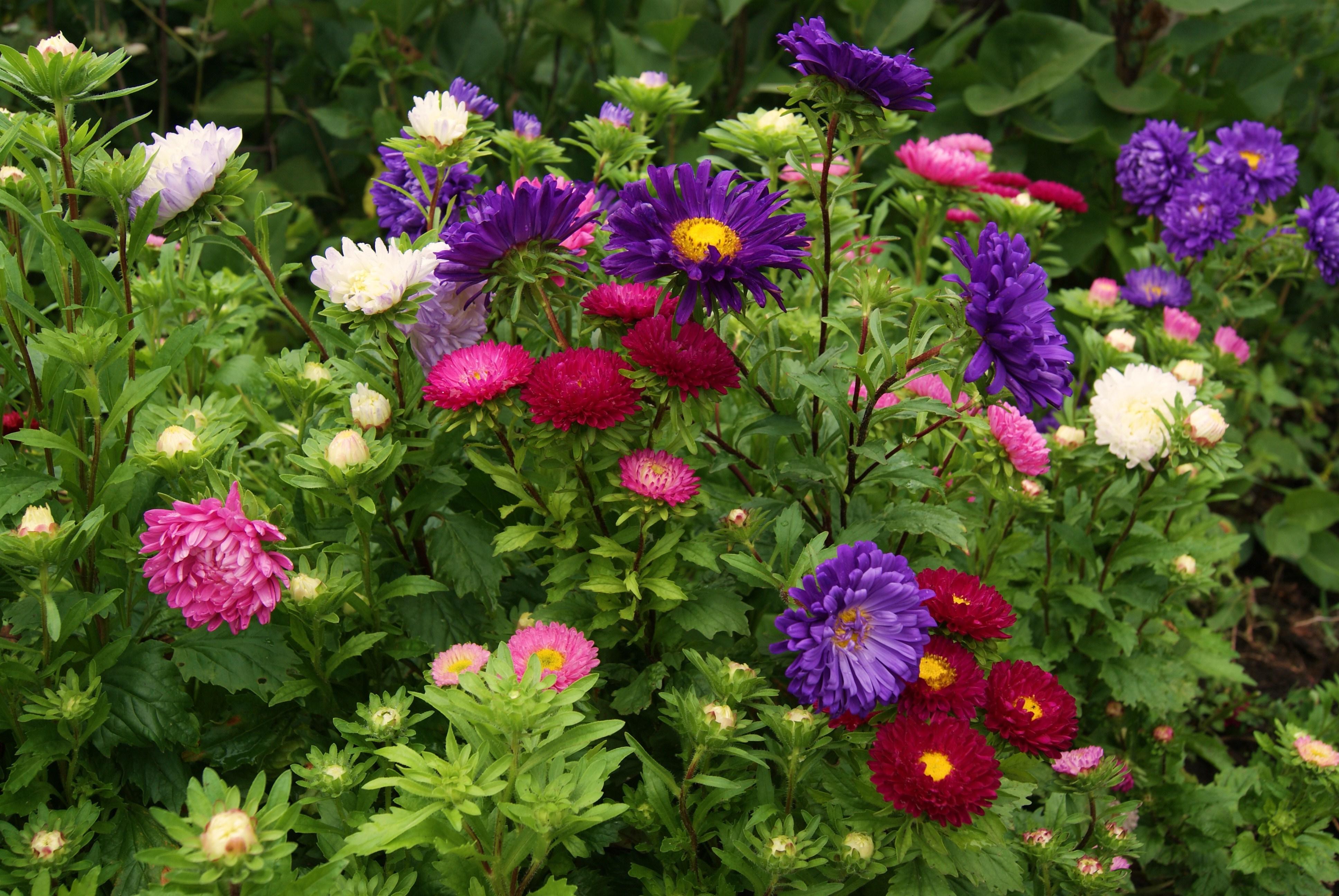 Астра садовая