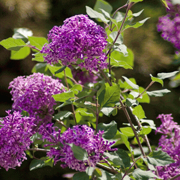 Сирень Блумеранг 'Dark Purple' (на штамбе), Syringa bloomerang 'Dark Purple'