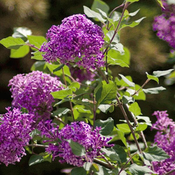Сирень Блумеранг 'Dark Purple' (на штамбе), Syringa bloomerang 'Dark Purple'