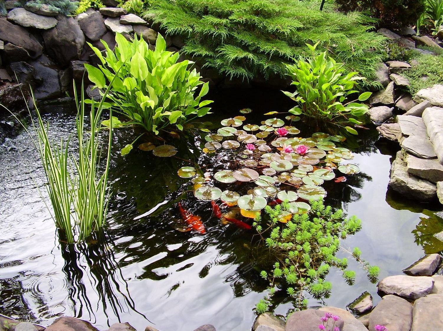 Прудовые лилии выступают центром композиции, не требуют сложного ухода и все лето радуют глаз яркими красочными цветками. Однако высаживать их надо в тихом спокойном пруду,без брызг и активного движения воды.