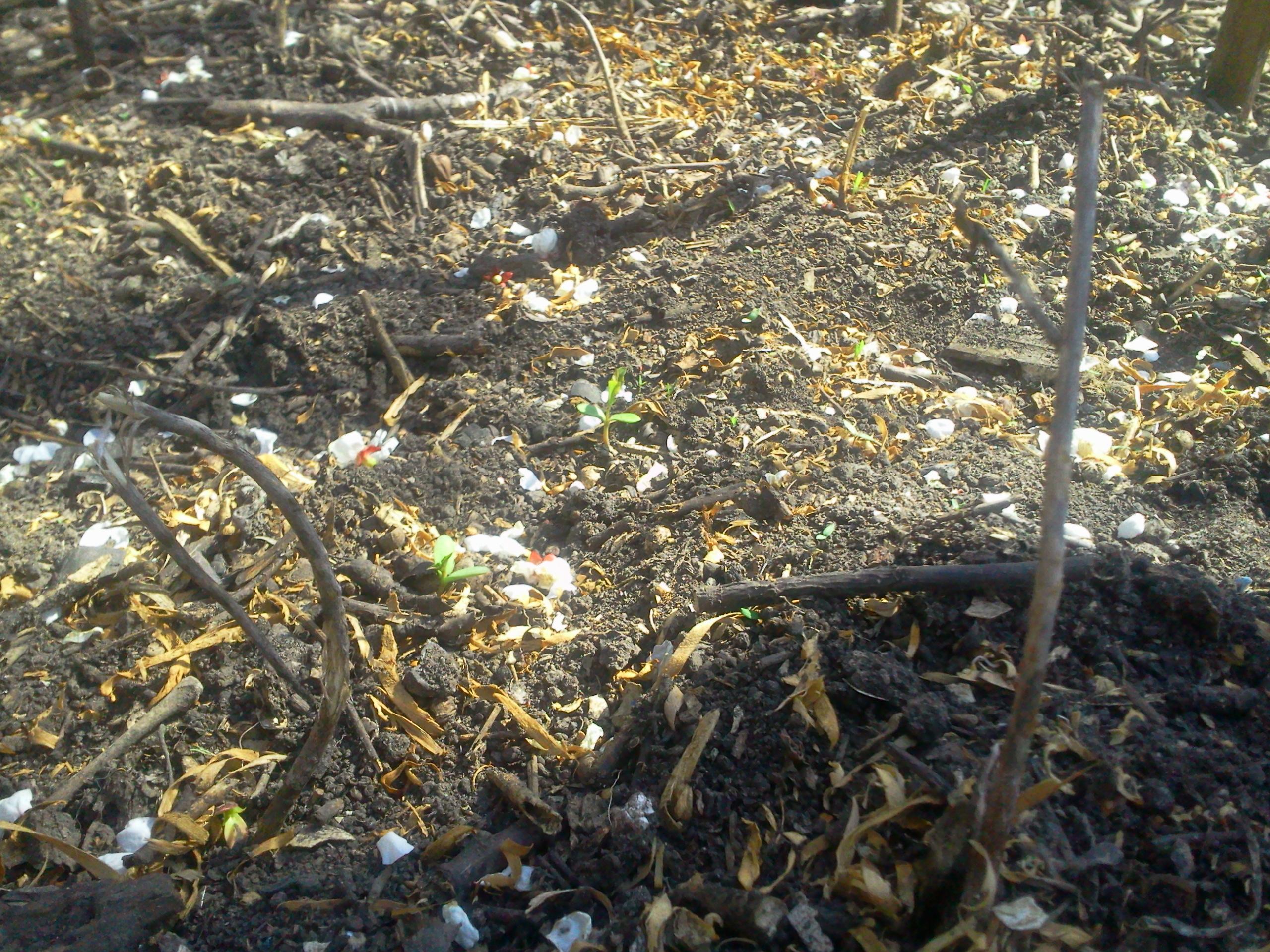 Травянистый гибискус из семян
