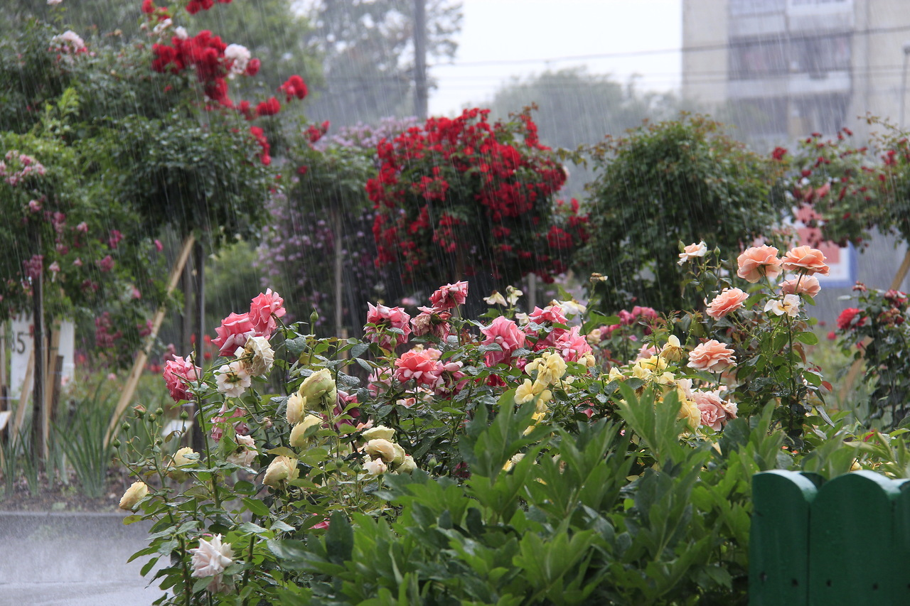 Роза, по праву, считается королевой цветов. Парковая, чайно-гибридная, полиантовая роза способна украсить любой уголок вашего сада и придать ему дорогое, благоухающее очарование.