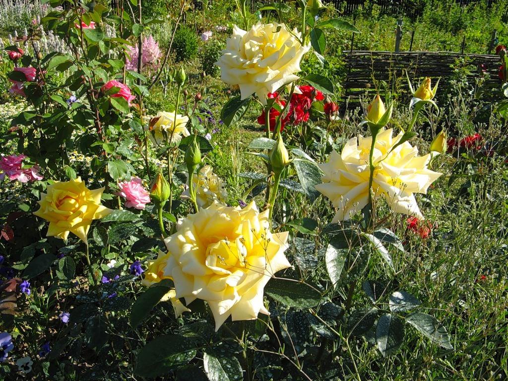 Розы среднерослые с красивыми и большими цветками. Подбираем  для них в компаньоны крупные многолетники с красиво рассеченной листвой и растения, усыпанные мелкими цветками.