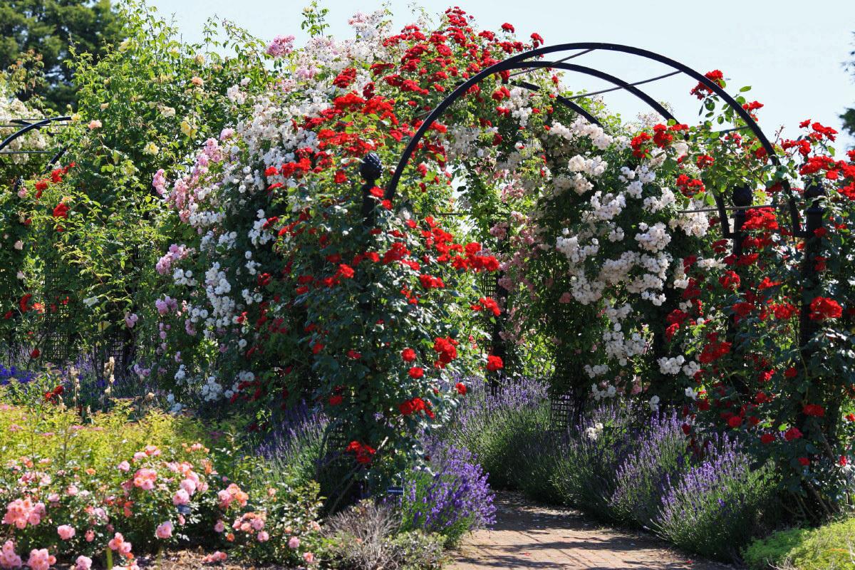 Вертикальное озеленение с помощью плетистых роз - беспроигрышный вариант и радость для глаз. Отличное сочетание и эффект  достигается, если в соседи такой розе подобрать клематисы, княжики, жимолость в соответствующем  цветовом  сочетании.