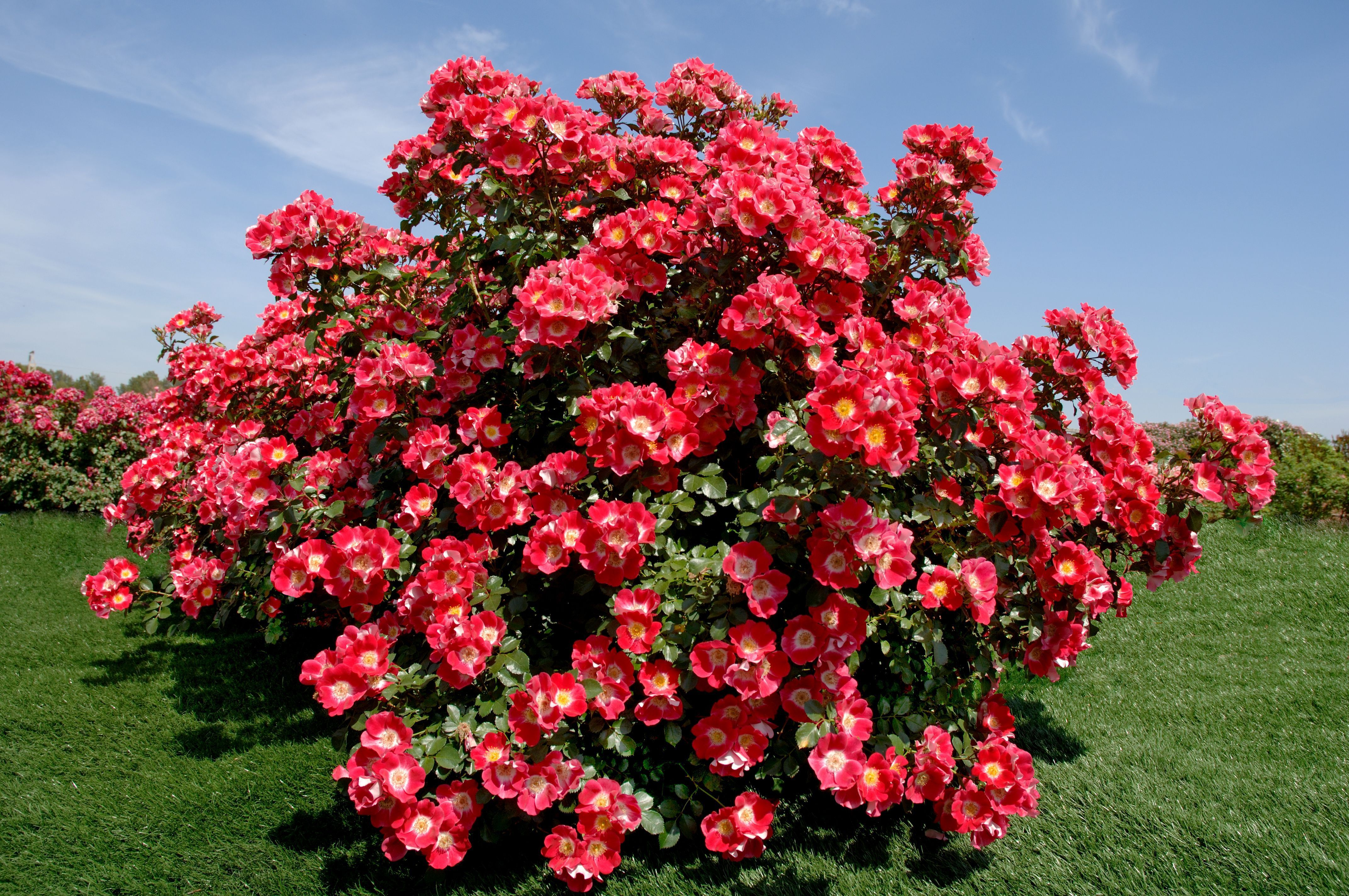 """Парковые розы. Это -фонтаны, водопады огромного количества цветов, эффект """"фейерверка""""."""