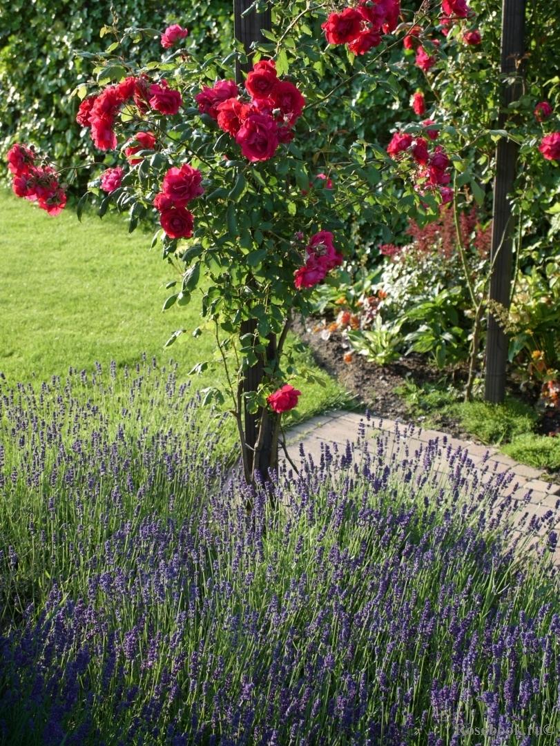 Вы можете создать целый сад из роз, использовать ее, как одиночное растение-солитер, а, посаженная в компании с другими цветами и хвойниками, роза станет картиной естественного пейзажа.