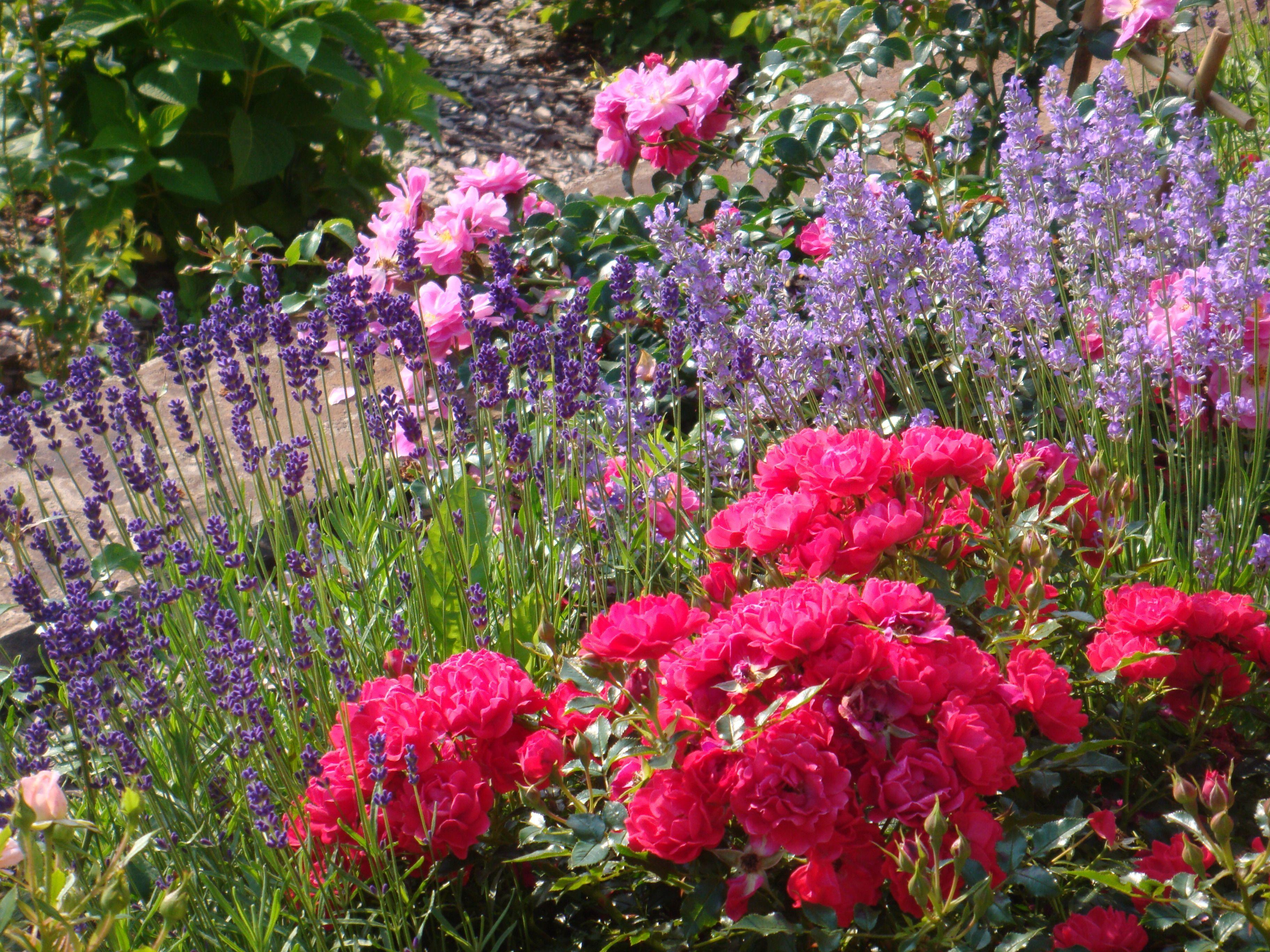 Независимо от расцветки, сорта и вида, розам необходим фон, подчеркивающий их красоту, изящество и благородство.Лаванда-идеальный спутник.