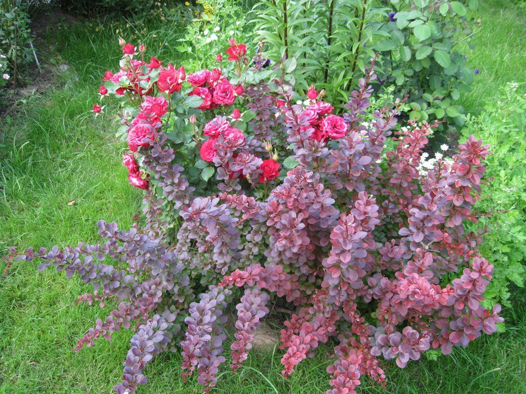 Выбирайте  растения  для фона, соответствующие нужному цветовому оттенку роз разных сортов.