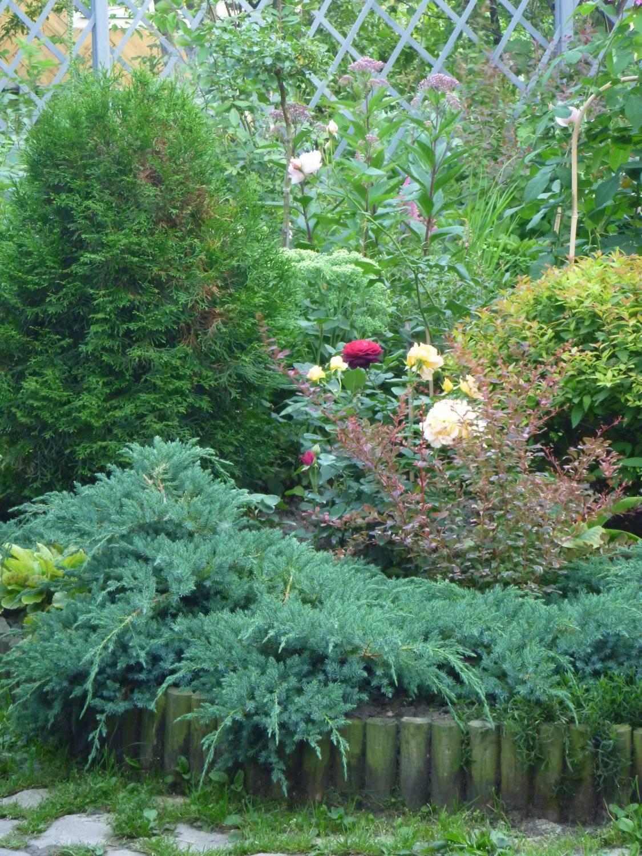Пышная, изящная хвоя превосходно сочетается с яркими цветками и крупными листьями роз. Традиционно используются можжевельник, туя, пихта, сосна, ель, самшит.