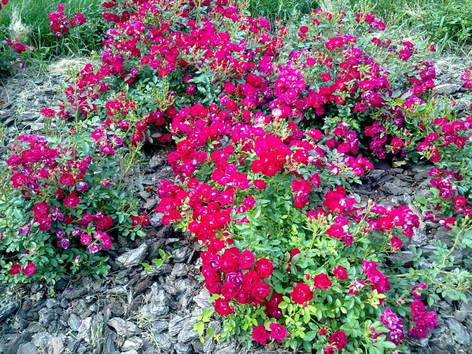 Миниатюрные представительницы семейства роз, очень любимые цветоводами за легкость в обращении с ними  и умение своими побегами скрывать  вынужденные  изъяны ландшафта.