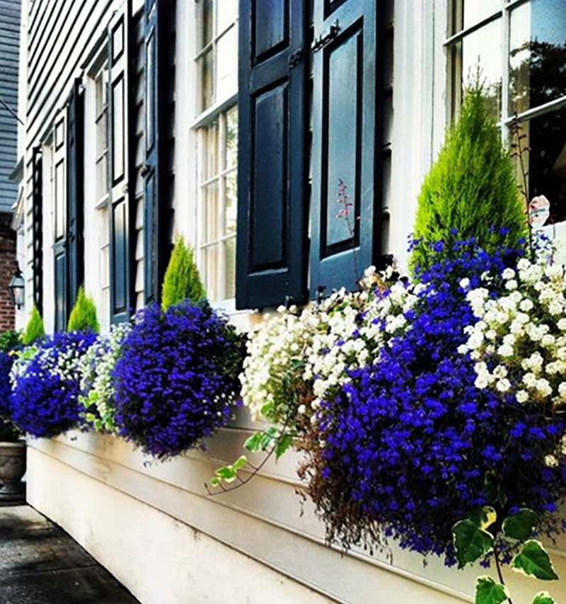 Бело-синие цветники на окне