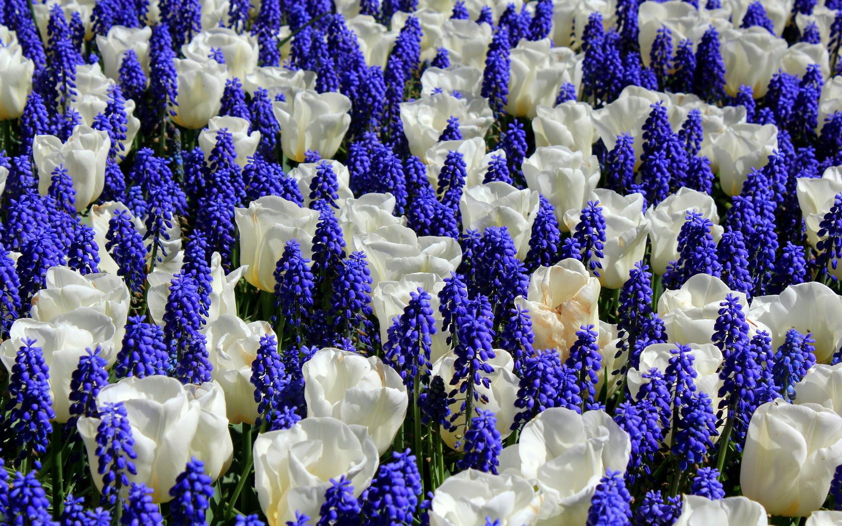 В смешанной посадке, где объединены синие гиацинты и белоснежные тюльпаны.
