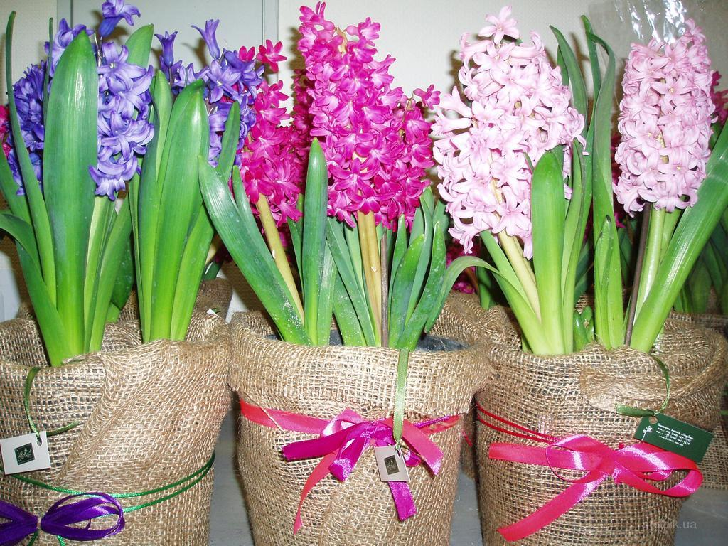 Весенние цветы в горшках - шикарный подарок к любому романтическому празднику!