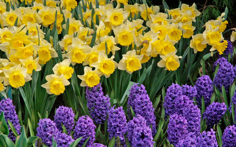 Красивые клумбы получаются, когда гиацинты, тюльпаны, нарциссы, мускари подобраны по цвету и гармонично сочетаются между собой.