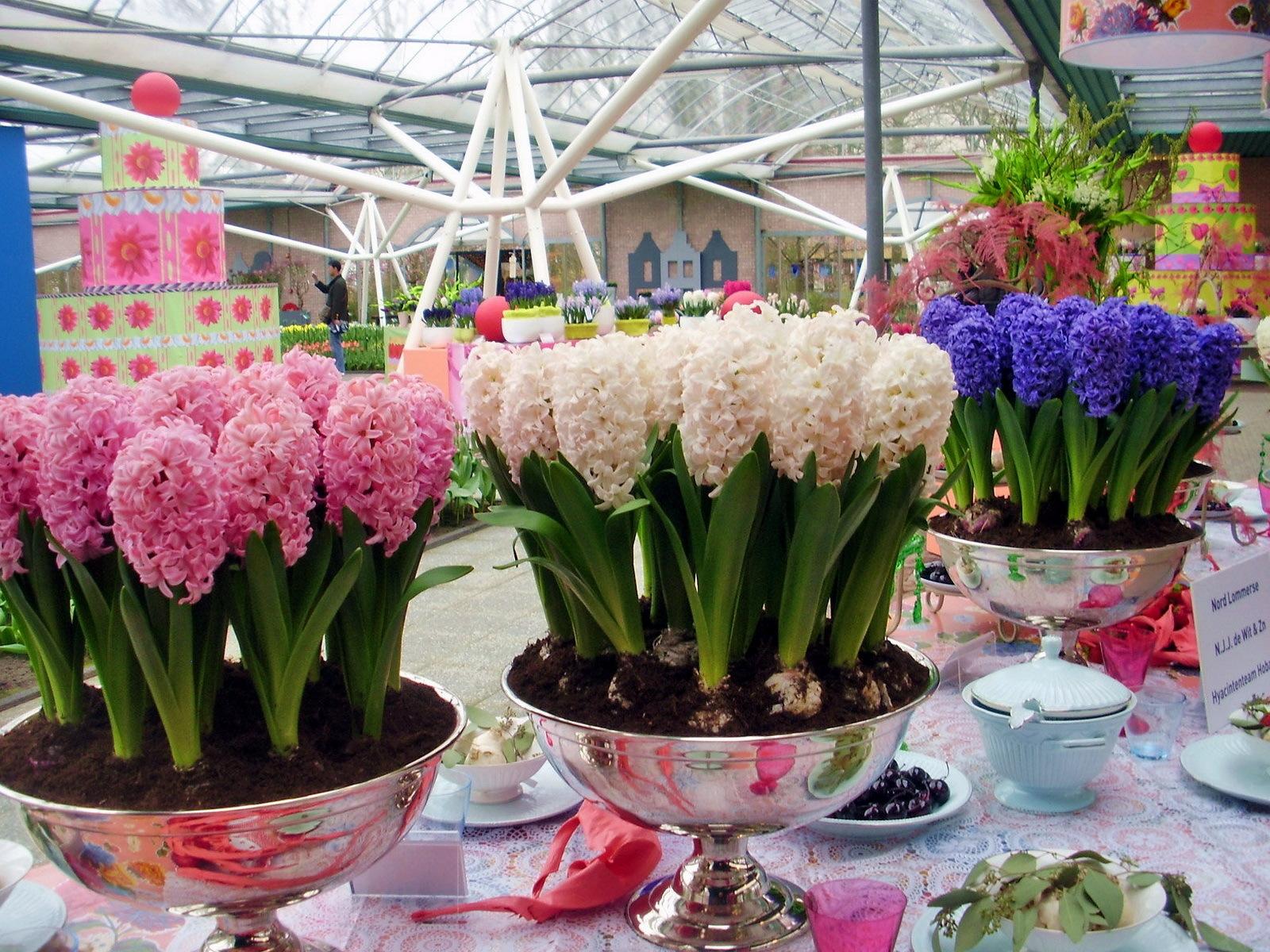 Выгонка гиацинтов к праздникам-чудесный способ приблизить весну!