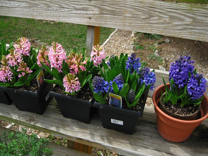 Время выгонки гиацинтов от посадки до цветения в среднем занимает 2,5 месяца.