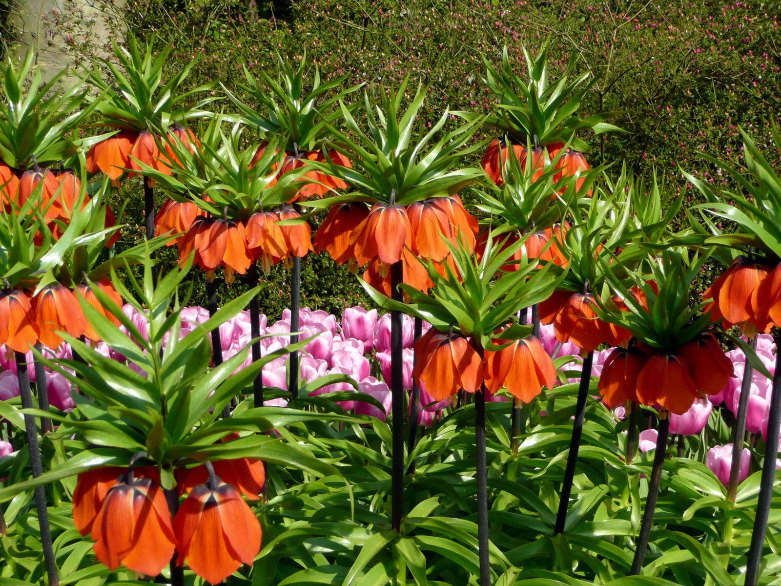 Верхушку цветоноса украшает соцветие красного, желтого или оранжевого цвета.