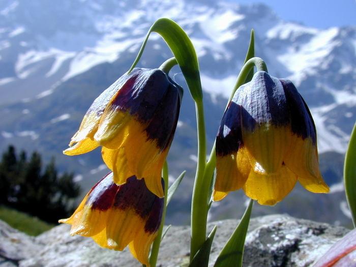Этот рябчик – идеальное растение для альпинария!