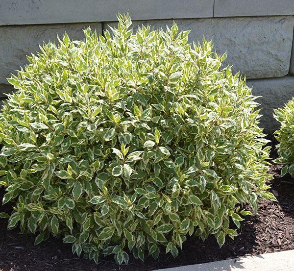 Дерен белый 'Elegantissima', Cornus alba 'Elegantissima'