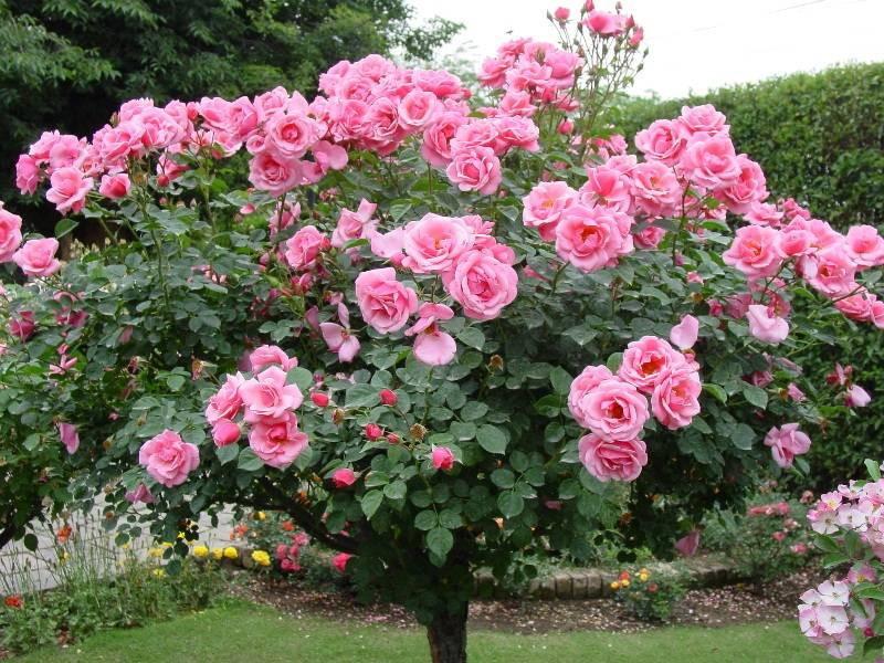 Розы на штамбе - невероятно красиво!