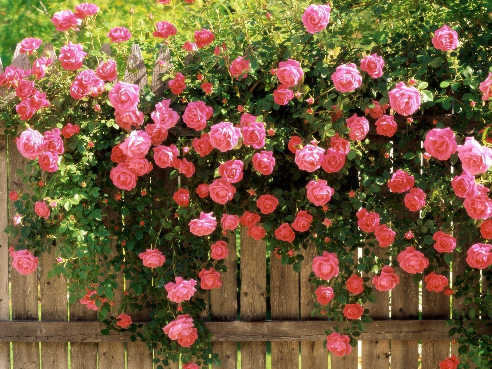 Возле стены, изгороди или решетки плетистая роза часто формируется в виде веера.