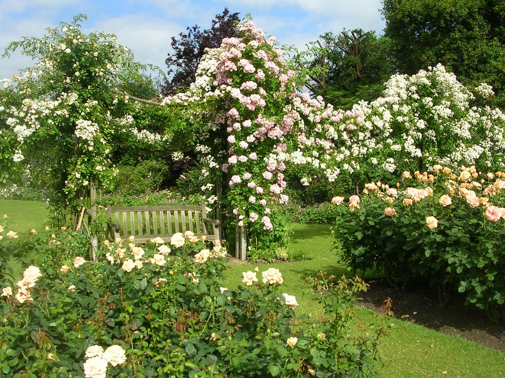 Столб - самая простая и надежная опора для плетистой розы.