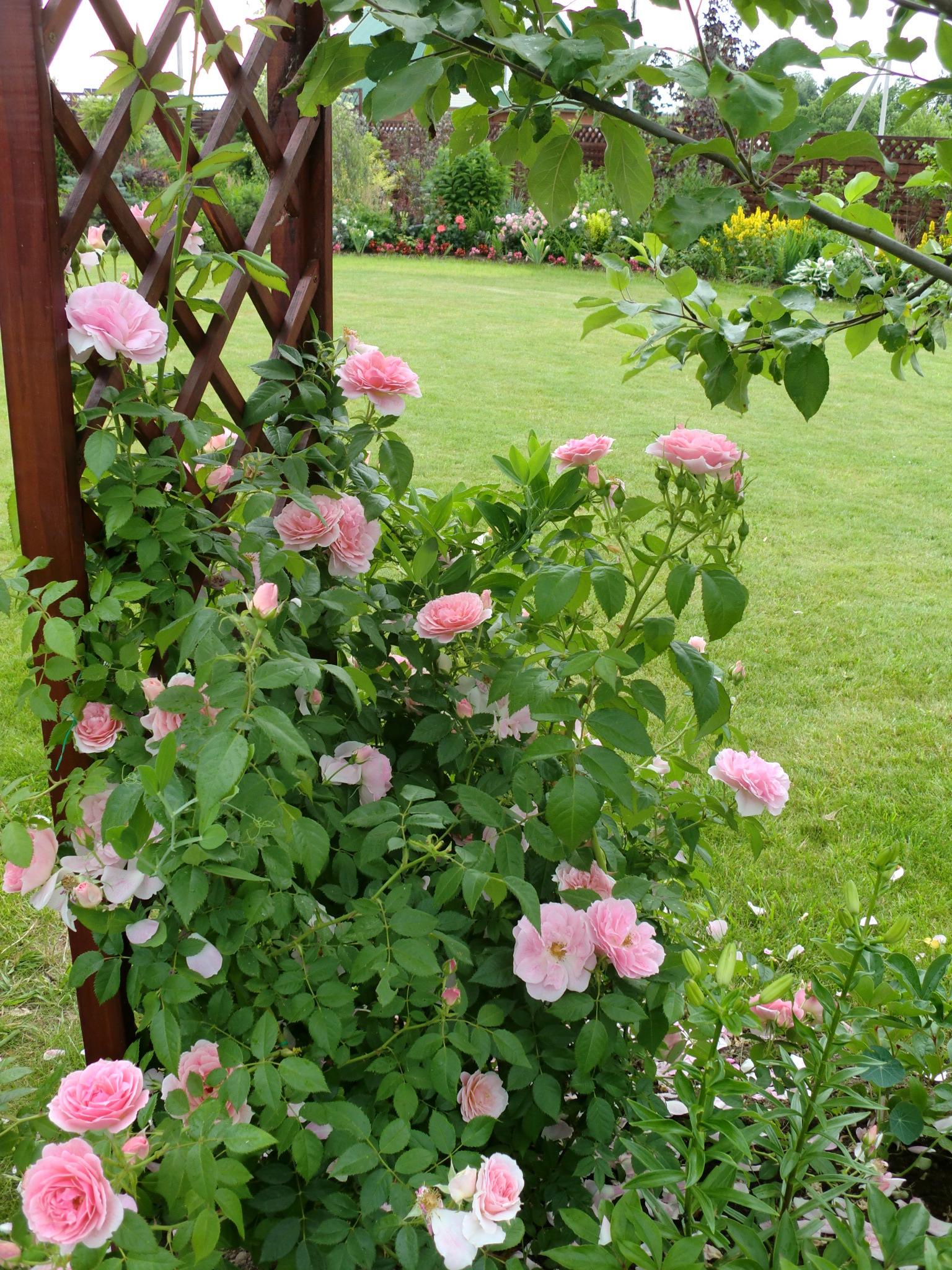 Решетка станет не только опорой для розового куста, но и разделит сад на зоны.